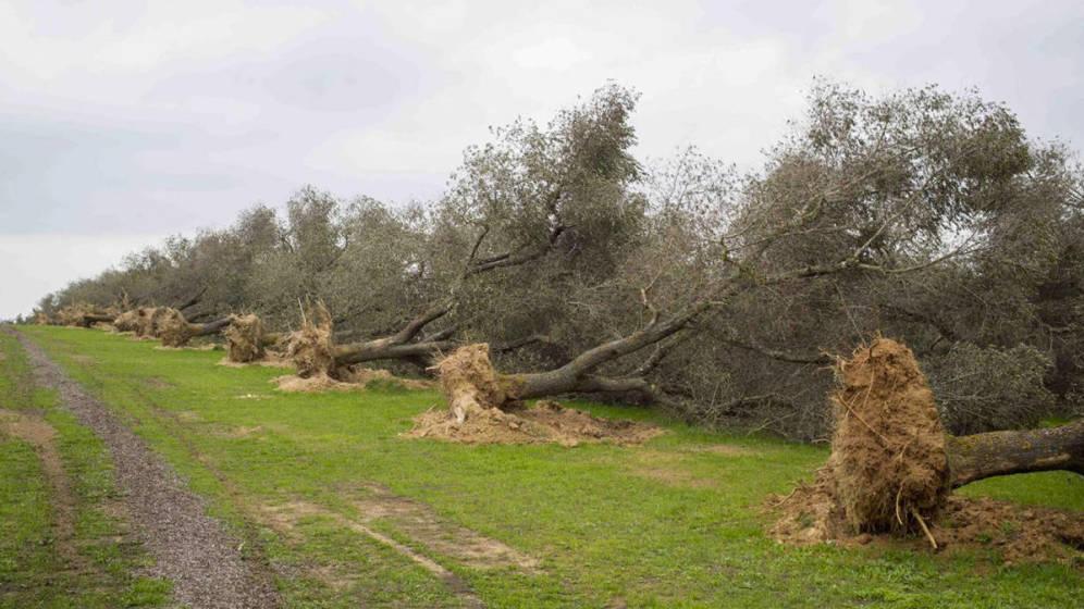 El ébola del olivo llega a España.